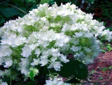 Hydrangea Arborescens 'Hayes Starburst' (= HYDRANGEA arb. Hovaria ® 'Hayes Starburst')  ou 'Annabelle à fleurs doubles' - fleurit plus longtemps qu'Annabelle. Peut aller au soleil, mais terrain toujours frais. Hauteur 1m20