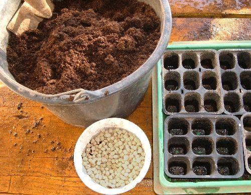 Coltivare i piselli con il metodo del trapianto