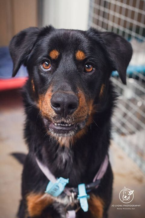 If dogs could talk... what would they say? Gorgeous Kelpie x Rotti Alert. This is Dodger. I am wondering what he would say to me if he could while I spent time with him yesterday. Now, if my dog was missing, I would drop everything to find them. How do pe