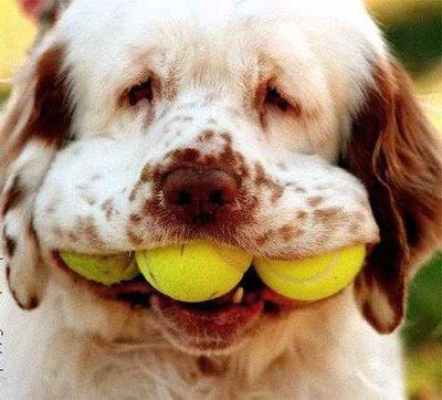 om nom nom!: Big Mouths, Funny Dogs, Silly Dogs, Pet Pictures, Happy Dogs, Funny Pet, Clumber Spaniel, Tennis Ball, Animal