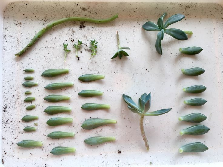 3 Easy Ways To Propagate Succulents From Leaf Stem Or Branch Cuttings
