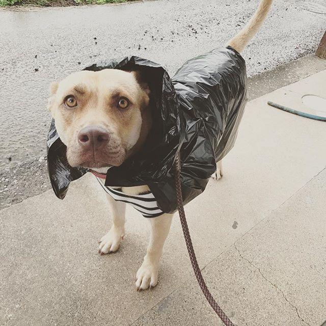 ゴミ袋で雨なんてヘッチャラ🐕🎶 #Lee#リー#Japan#日本ehime#愛媛#ainan#愛南#愛犬#女前#pitbull#ピットブル#pitbullmix#ピットブルミックス