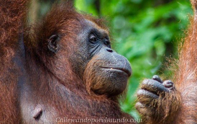 orangutan semenggoh borneo malasia (5)