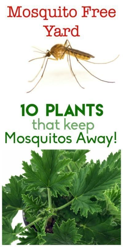 Keep your yard and garden mosquito free! Here are 10 plants that will help keep those pesky insects away naturally. by roxanne
