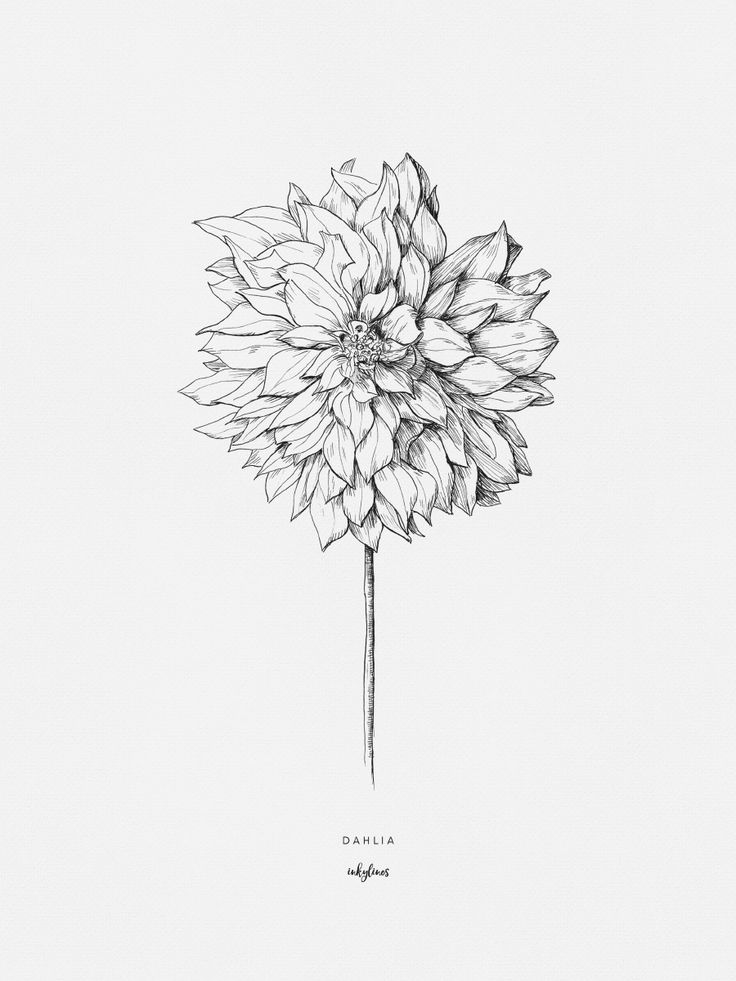 Hand drawn illustration of a dahlia flower by inkylines. The dahlia symbolizes elegance, creativity and dignity.
