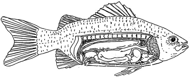 Perch Fish Anatomy Diagram Enchanted Learning - Trusted Wiring Diagram •