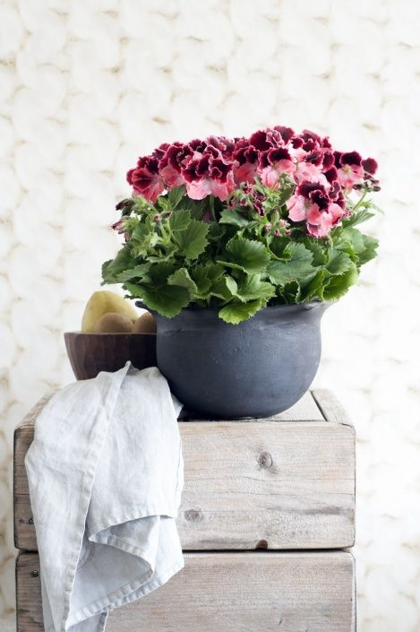 Use naturally textured vases to contrast with the leaves of the Regal Pelargonium