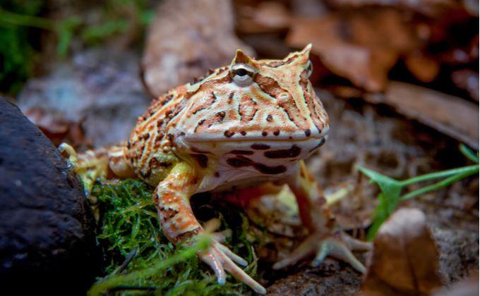 クランウェルツノガエルの種類と飼育方法を紹介 寿命や値段の相場はどのくらい Woriver 給餌 カエル ペット