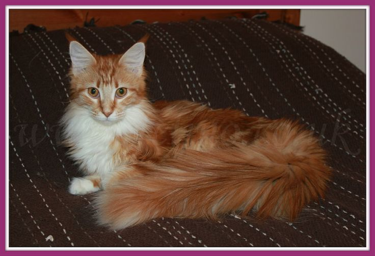 Red Classic Tabby & White Maine Coon female. Owned by FelinoCoons Maine Coon Cattery (www.felino.co.uk)