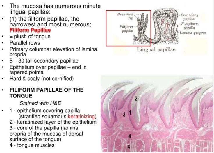 histologi oral-biologyslides-inflamed taste buds on tongue-Kerathin layer