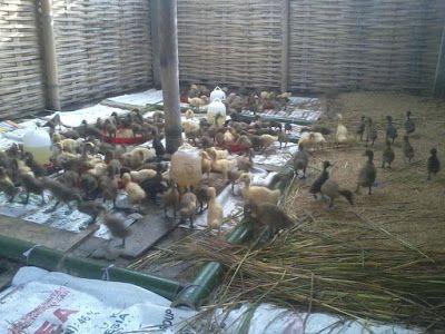 SECELENG: Foto-foto Budidaya dan Pembesaran Bebek Petelur
