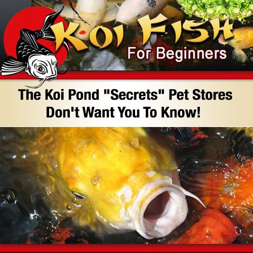 """#KoiFish #HowTo These Are The Koi Pond """"Secrets"""" Pet Stores Don't Want You To Know! http://9f62dezk3dok6lwhq4n4vq5x47.hop.clickbank.net"""