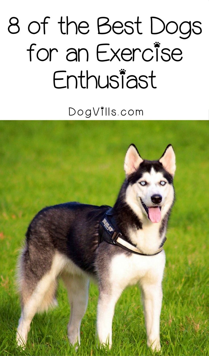 Want a pup that loves working out as much as you do? Check out 8 of the best dog breeds for an exercise enthusiast!