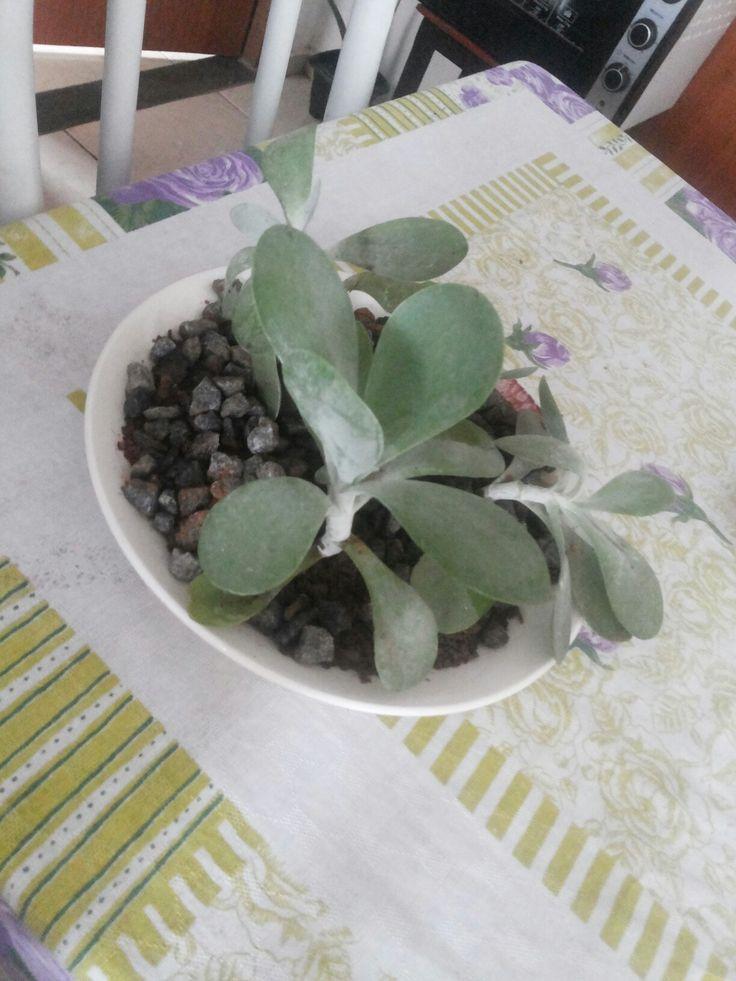Comecei a plantar agora, não tenho experiência então pesquisei e descobri que suculentas e calonchoe são ótimas para serem cuidadas, então fiz esse terrario em um prato de porcelana. Esta é a calanchoe orelha de elefante