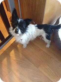Denver, CO - Terrier (Unknown Type, Medium)/Papillon Mix. Meet Tank a Dog for Adoption.