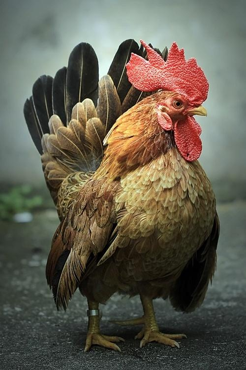 Incredible Rooster. want to rug hook or paint this for someone...