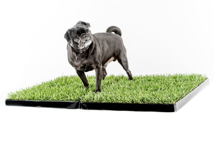 Why Artificial Grass Safe and Reasonable for Dogs? http://bit.ly/2vVrPOa There are different types of #artificialgrassfordogs available in market which is used for dogs as dogs love to have fun on it by rolling over and cuddling in the grass and its completely safe and reasonable for dogs one can easily get this online.  #Dogpotty #Indoordogpotty #peepads #Indoorpeepads