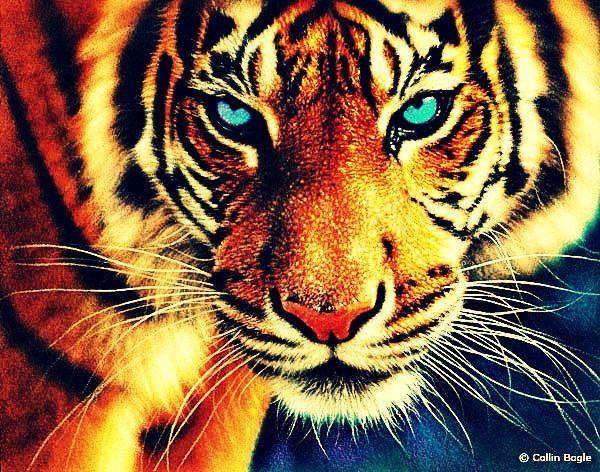 Fierce tiger | animals | Pinterest