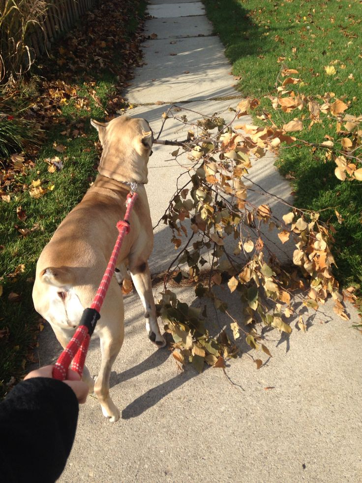 Puppy Paisley taking his branch for a walk