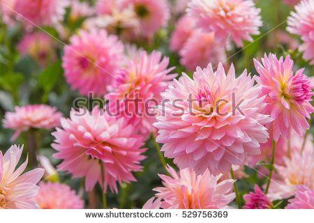 Imagen gratis en Pixabay - Dalia, Flor De Dalia, Flor