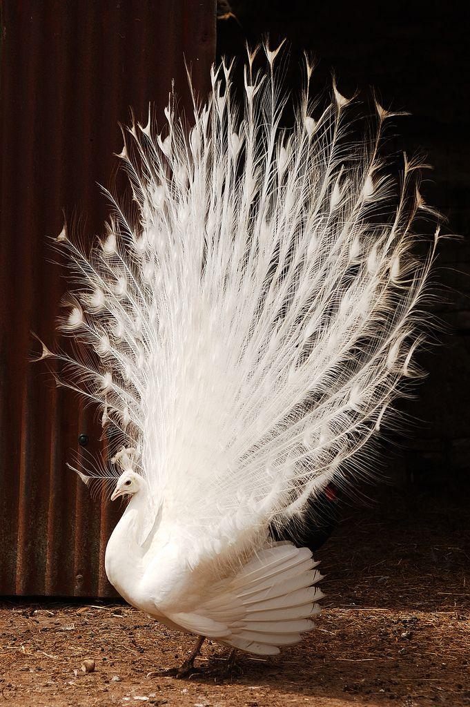 white peacockPeacocks White, Nature, David Calvin, Albino Peacocks, Creatures, Animal Rare, Beautiful Birds, White Peacocks, Feathers
