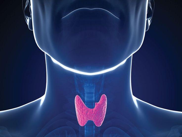 Ο θυρεοειδής αδένας είναι ο μεγαλύτερος αδένας του λαιμού και έχει το σχήμα μιας πεταλούδας, με τα δυο της φτερά να βρίσκονται αριστερά και δεξιά της τραχείας. Η ορμόνη που παράγει ο θυρεοειδής έχει επίδραση σε όλους τους ιστούς του σώματος οι οποίοι αυξάνουν την κυτταρική δραστηριότητα στον οργανισμό. Αυτό σημαίνει πως η κύρια λειτουργία …