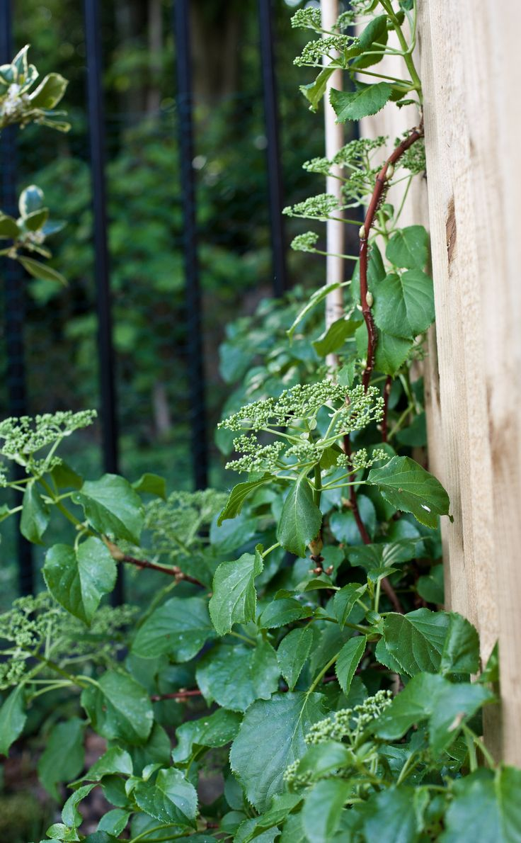 Hydrangea petiolaris This self clinging plant happily grows up fences in partial shade