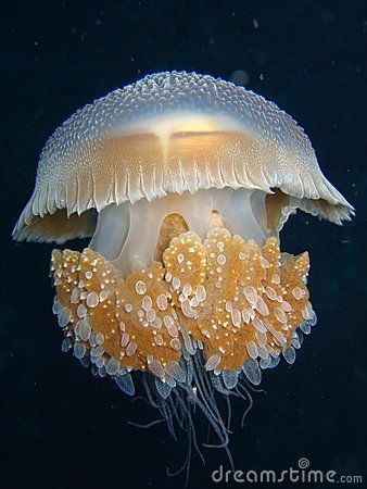 Jellyfish. Nice picture.