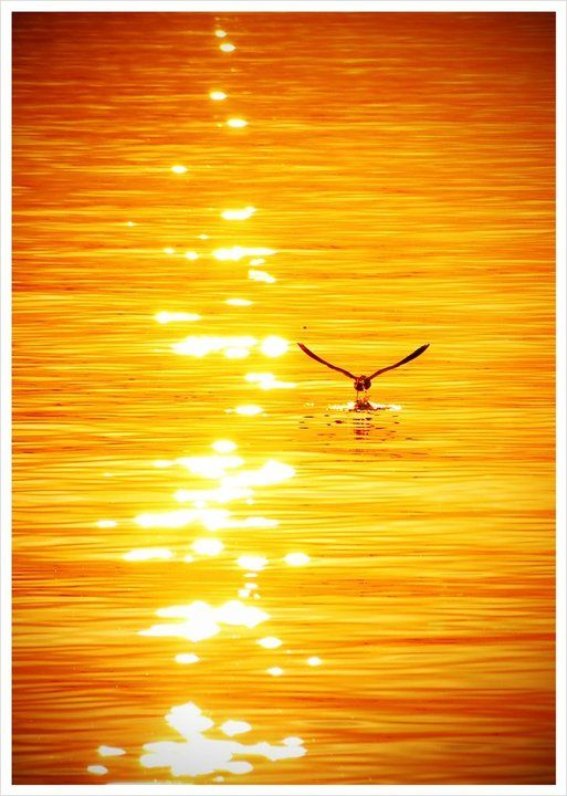 Beautiful Pic o(^▽^)oGood night! 今日もありがとう。おやすみなさい^-^/#sunset #bird #sea #gold(from @gotenba on Streamzoo)