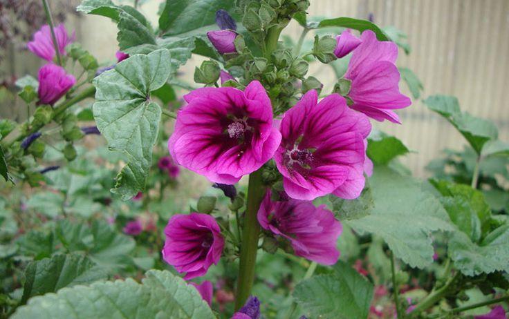 "Mallow (당아욱) 1.Mallow 꽃 말 자애, 어머니의 사랑, 은혜 * 꽃점""어머니에게 감사하는 마음으로 매일 ..."