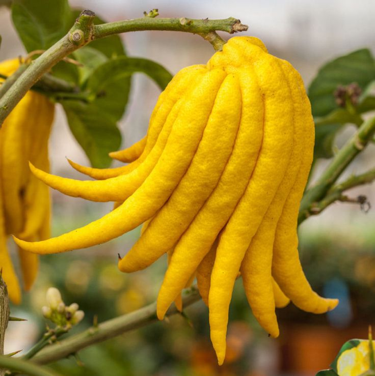Image result for buddha hand citron trees