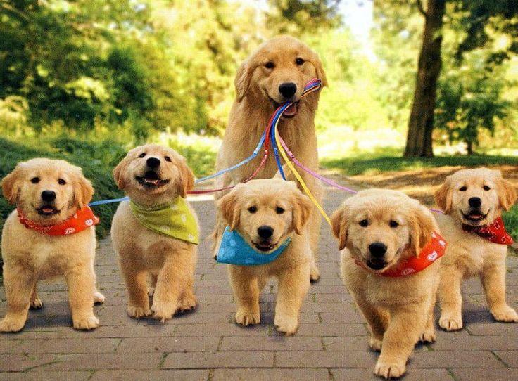 Картинки по запросу щенок золотистый ретривер