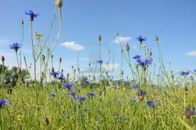 cornflower blue -