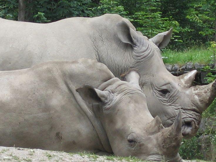 Rhinos no jardim zoológico Hellbrunn
