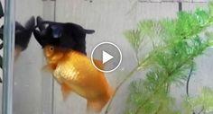 Peixe Dourado Ajuda Amigo Doente a Comer e a Sobreviver