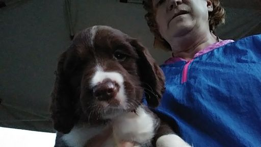 Litter of 3 English Springer Spaniel puppies for sale in INMAN, SC. ADN-42620 on PuppyFinder.com Gender: Male. Age: 6 Weeks Old