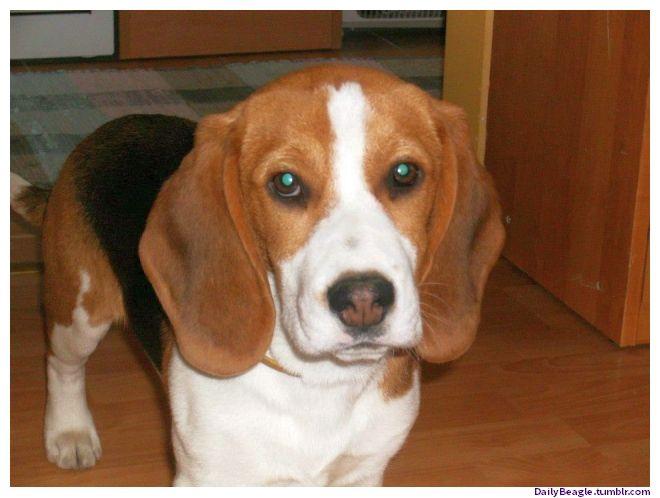 Cute Mini Beagles Pics