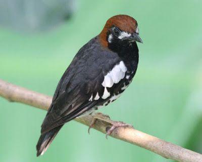 Burung Anis Kembang (Punglor) di atas Pohon #burung #bird #hewan #animals #peliharaan #pets #photography