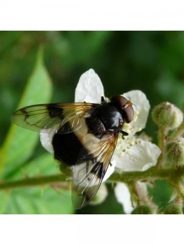 Hoverfly: Volucella pellucens | Nature Notes from Dorset