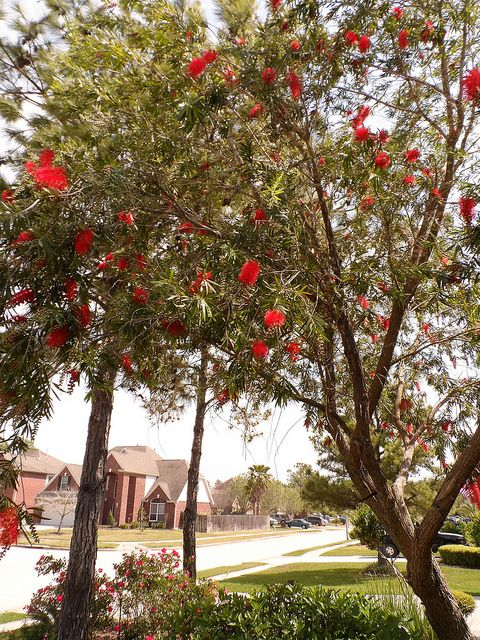 Bottle Brush Tree Flowers And Leaves Can Be Used For Tea