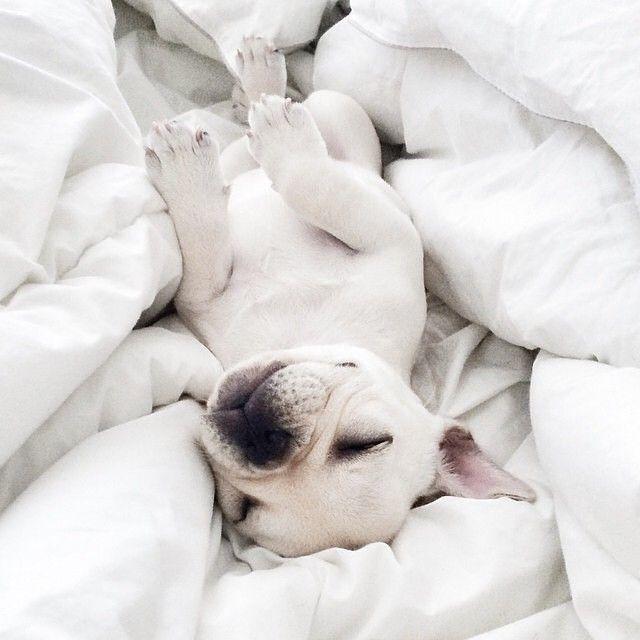 Baby Polly, the French Bulldog Puppy,  #piggyandpolly instagram