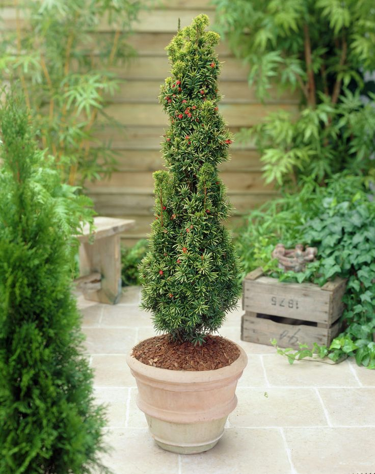 1000 ideas about taxus baccata on pinterest hedges for Pflanzen evergreen