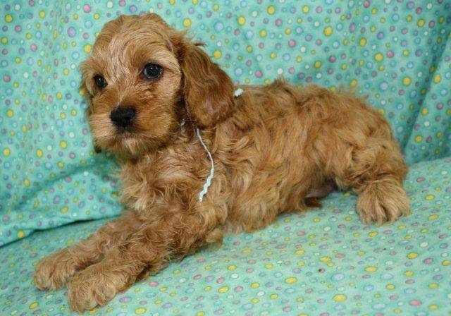 2 month pic Best dogs, Cockapoo, Animals