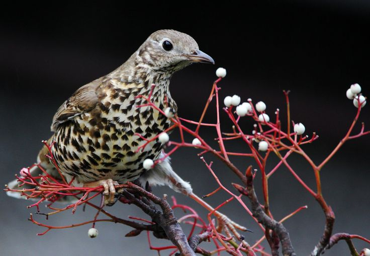 Mistle Thrush - Chris Kilpatrick - Taken in Ramsey Isle of Man. -  http://ift.tt/2iuXMGW IFtemppicpinned in Building blocksdownld in ios #January 9 2017 at 08:27PM#via IF