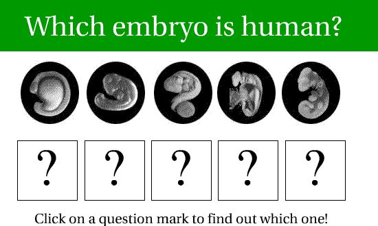 Adult fish, chickens, dogs, and lizards don't look much like humans. So why do these embryos look so much alike? The basic design of all these animals is more similar than you might think, unless you have a basic understanding of true science. Since all vertebrates (animals with backbones) evolved from a common ancestor, the genetic information that guides their development is nearly the same. That's why scientist can learn about human development by studying other organisms
