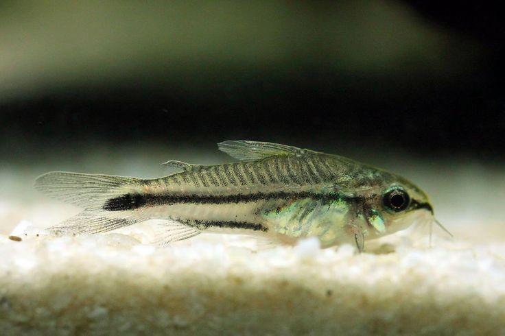 Nano-Aquarium Nano Aquarium Anfänger Emmenlauer Posthornschnecken Planarien Schneckenegel