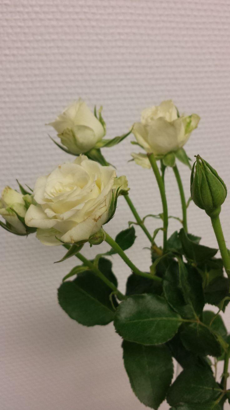 Hvit greinrose