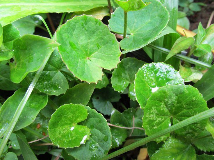 Centella asiatica e Hydrocotyle bonariensis - centelle e erva-capitão : os parentes saborosos da salsinha