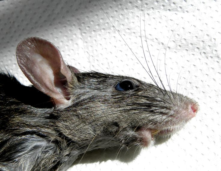335 Best 3d Modeling Ii Images On Pinterest Rats Hairless Rat