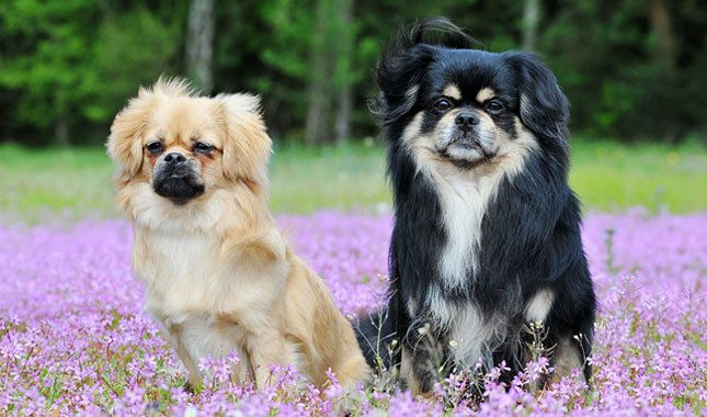 Tibetan Spaniel Dog Breed Information With Images Friendly Dog